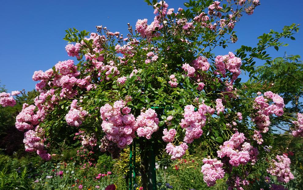 Monet flores