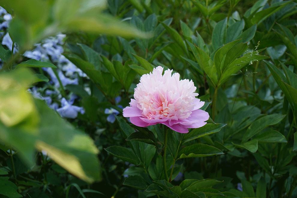 flores-monet-4