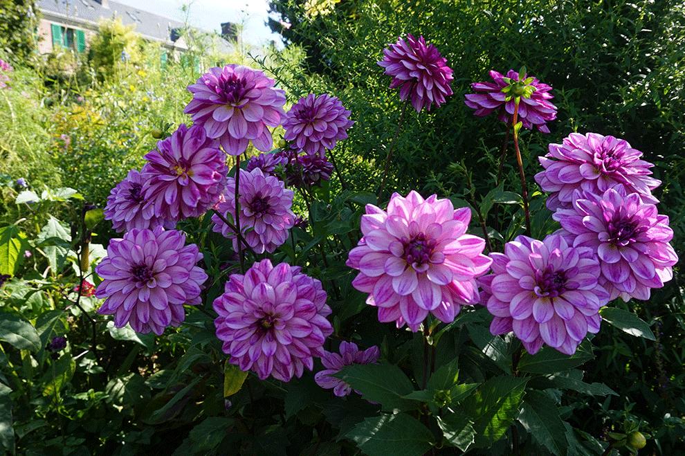 flores-monet-5