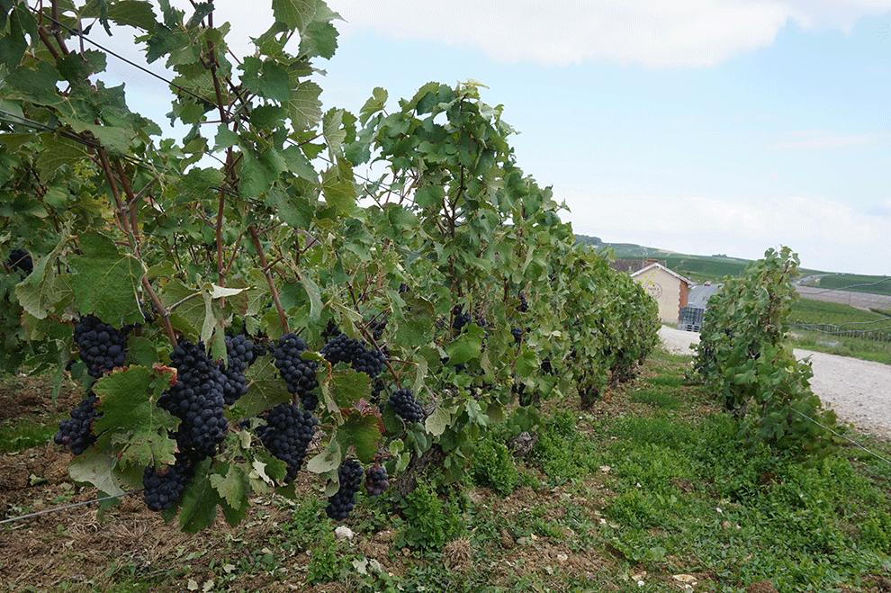 hautvillers-pinot-noir